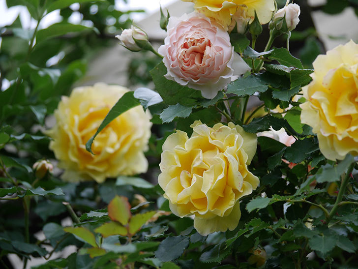 ジンジャー・シラバブ(ツルバラ)の花が増えてきた。2020年-055.jpg