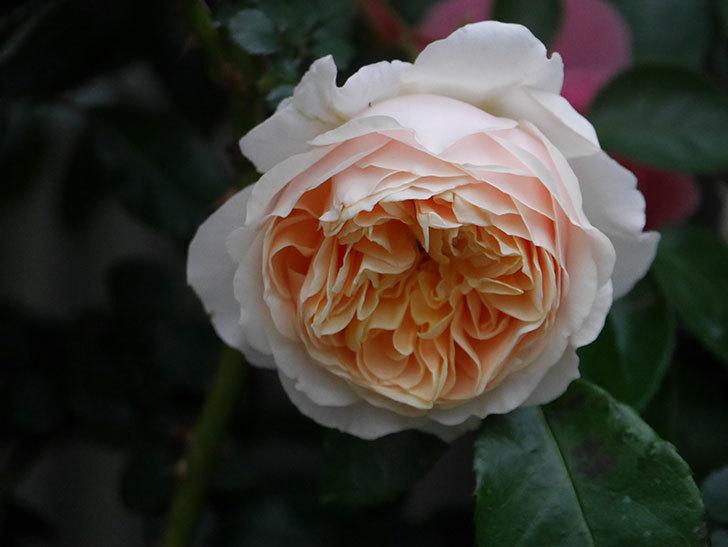 ジンジャー・シラバブ(ツルバラ)の花が増えてきた。2020年-056.jpg