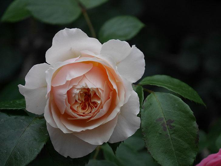ジンジャー・シラバブ(ツルバラ)の花が増えてきた。2020年-057.jpg