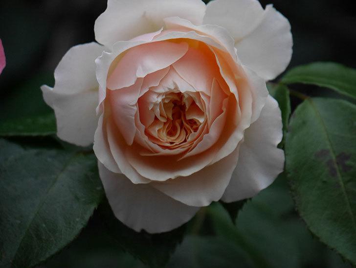 ジンジャー・シラバブ(ツルバラ)の花が増えてきた。2020年-058.jpg