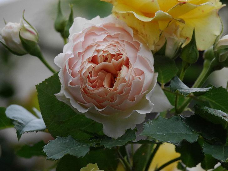 ジンジャー・シラバブ(ツルバラ)の花が増えてきた。2020年-059.jpg