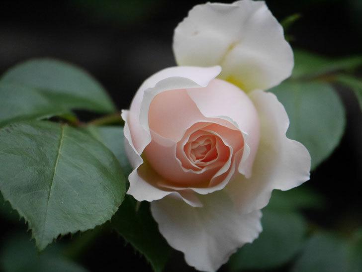 ジンジャー・シラバブ(ツルバラ)の花が増えてきた。2020年-060.jpg