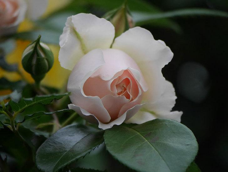 ジンジャー・シラバブ(ツルバラ)の花が増えてきた。2020年-061.jpg