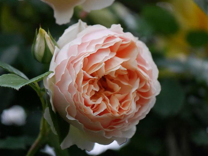 ジンジャー・シラバブ(ツルバラ)の花が増えてきた。2020年-062.jpg