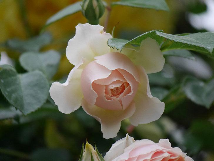 ジンジャー・シラバブ(ツルバラ)の花が増えてきた。2020年-063.jpg