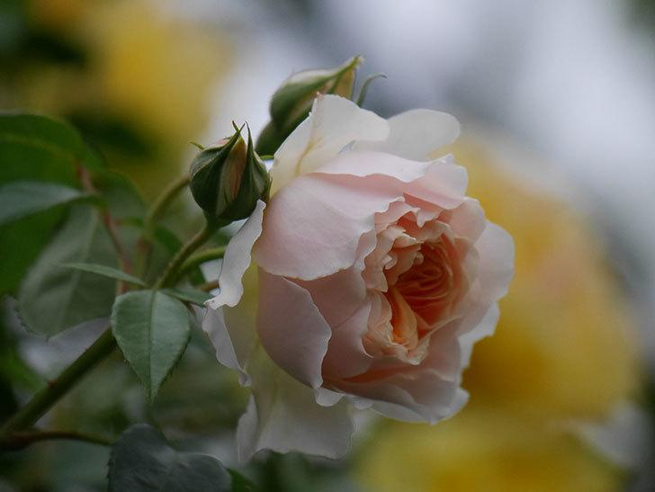 ジンジャー・シラバブ(ツルバラ)の花が増えてきた。2020年-064.jpg