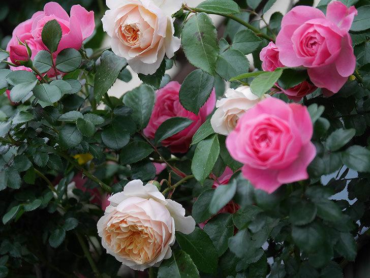 ジンジャー・シラバブ(ツルバラ)の花が増えてきた。2020年-065.jpg