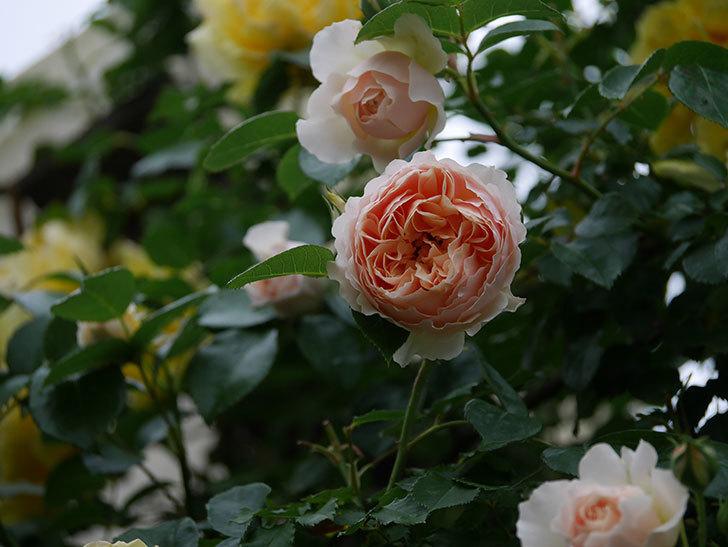 ジンジャー・シラバブ(ツルバラ)の花が増えてきた。2020年-067.jpg