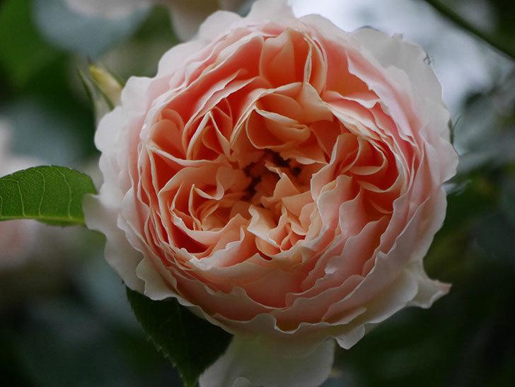ジンジャー・シラバブ(ツルバラ)の花が増えてきた。2020年-068.jpg