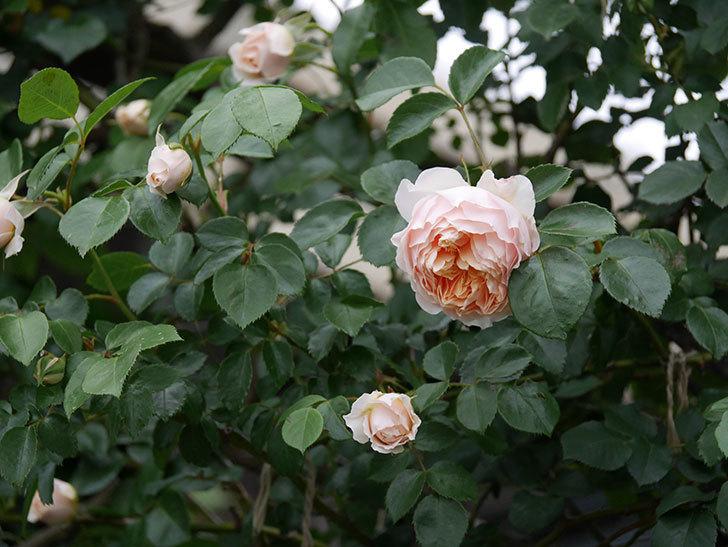 ジンジャー・シラバブ(ツルバラ)の花が増えてきた。2020年-069.jpg