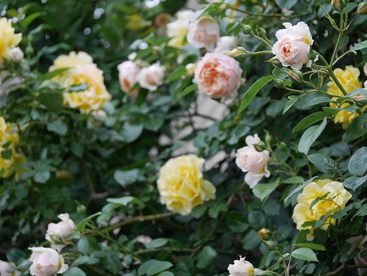 ジンジャー・シラバブ(ツルバラ)の花が増えてきた。2020年-070.jpg