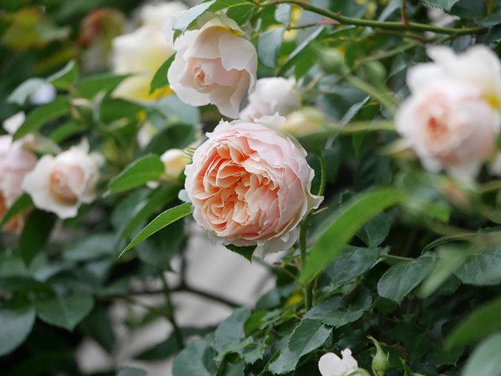 ジンジャー・シラバブ(ツルバラ)の花が増えてきた。2020年-071.jpg