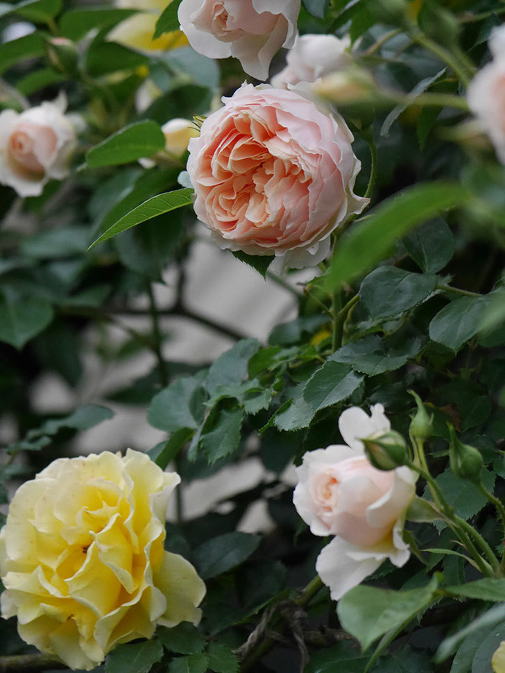 ジンジャー・シラバブ(ツルバラ)の花が増えてきた。2020年-072.jpg