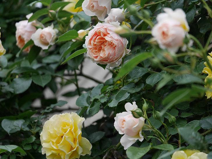 ジンジャー・シラバブ(ツルバラ)の花が増えてきた。2020年-073.jpg
