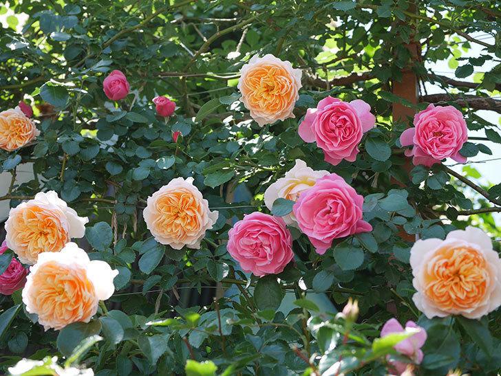 ジンジャー・シラバブ(ツルバラ)の花が増えて来た。2019年-1.jpg