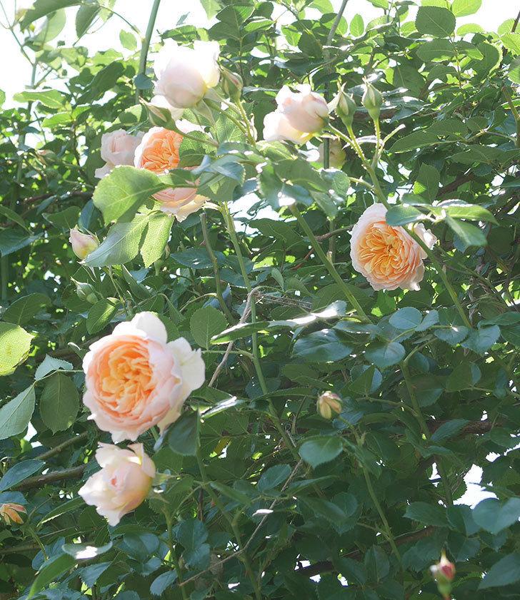 ジンジャー・シラバブ(ツルバラ)の花が増えて来た。2019年-11.jpg