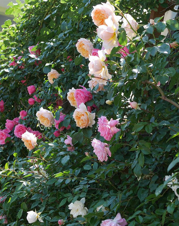 ジンジャー・シラバブ(ツルバラ)の花が増えて来た。2019年-12.jpg