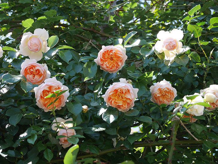 ジンジャー・シラバブ(ツルバラ)の花が増えて来た。2019年-13.jpg