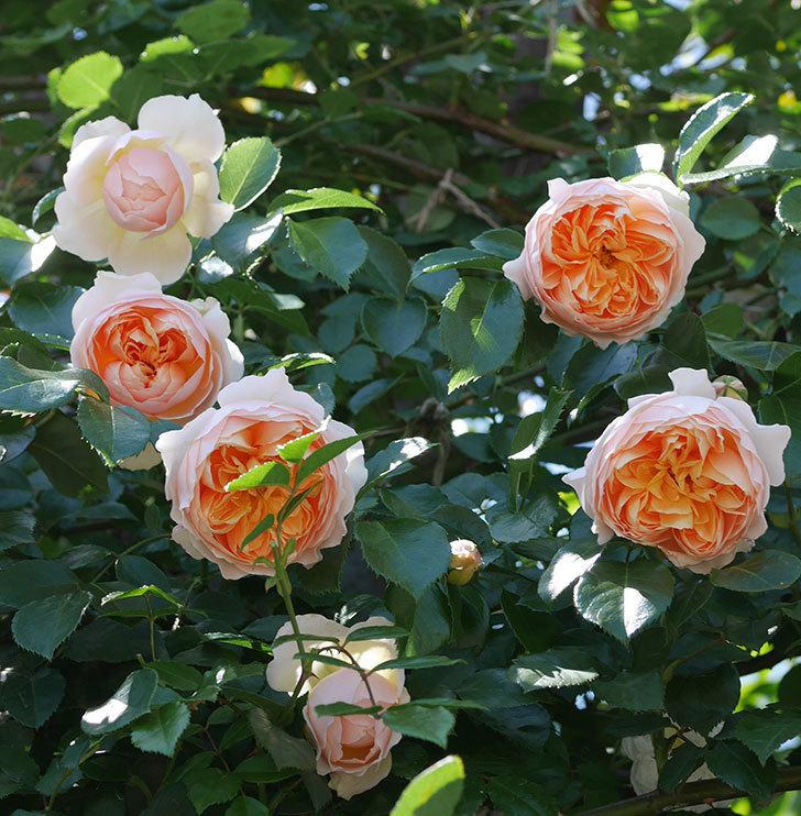 ジンジャー・シラバブ(ツルバラ)の花が増えて来た。2019年-14.jpg