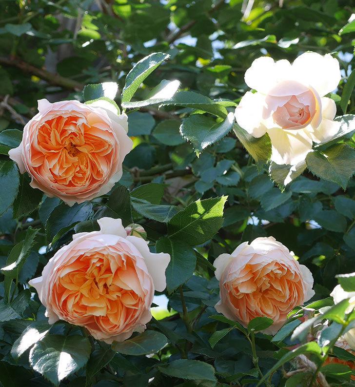 ジンジャー・シラバブ(ツルバラ)の花が増えて来た。2019年-15.jpg
