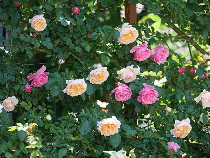 ジンジャー・シラバブ(ツルバラ)の花が増えて来た。2019年-18.jpg