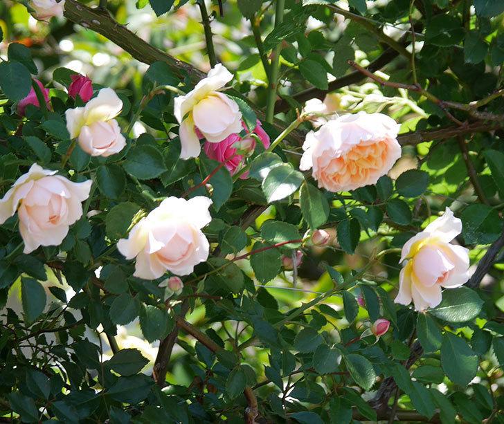 ジンジャー・シラバブ(ツルバラ)の花が増えて来た。2019年-19.jpg