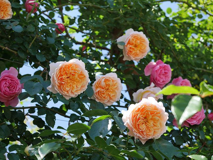 ジンジャー・シラバブ(ツルバラ)の花が増えて来た。2019年-2.jpg