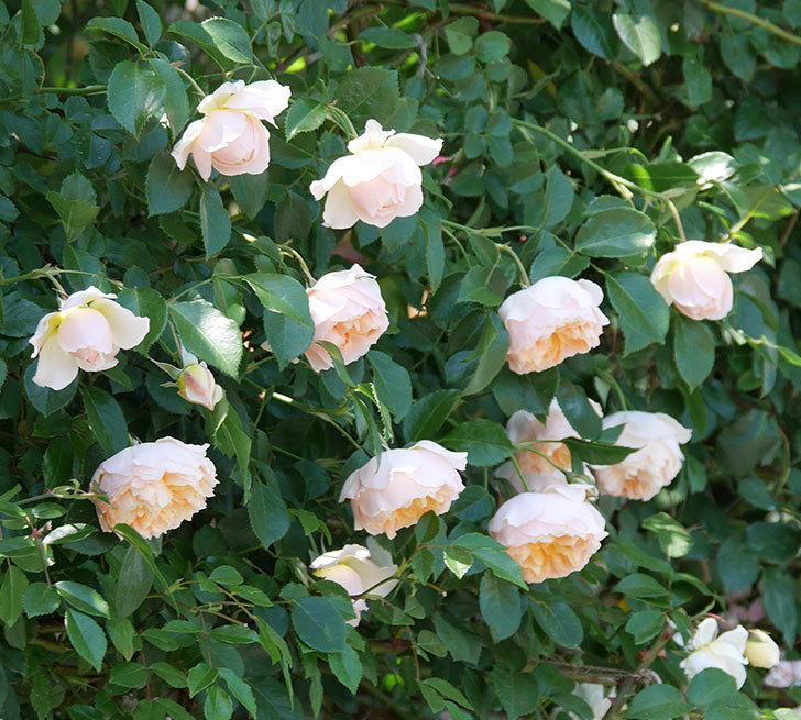 ジンジャー・シラバブ(ツルバラ)の花が増えて来た。2019年-20.jpg