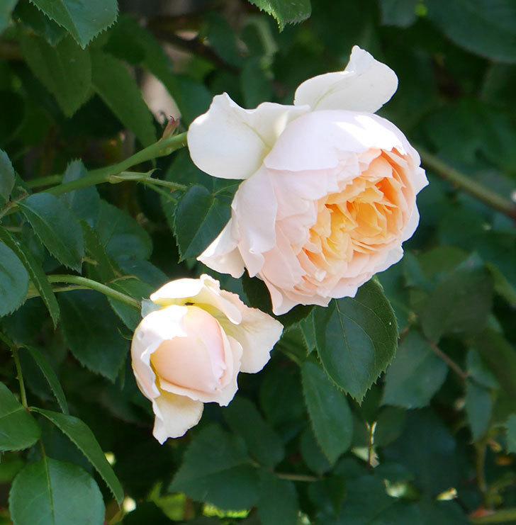 ジンジャー・シラバブ(ツルバラ)の花が増えて来た。2019年-21.jpg