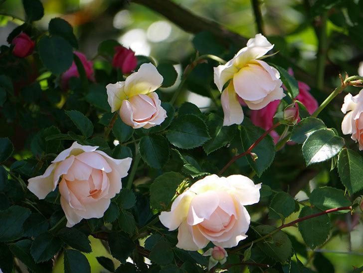 ジンジャー・シラバブ(ツルバラ)の花が増えて来た。2019年-22.jpg