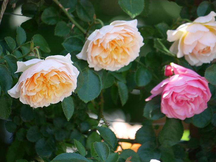 ジンジャー・シラバブ(ツルバラ)の花が増えて来た。2019年-23.jpg