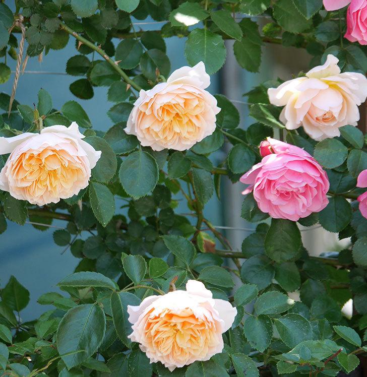 ジンジャー・シラバブ(ツルバラ)の花が増えて来た。2019年-24.jpg