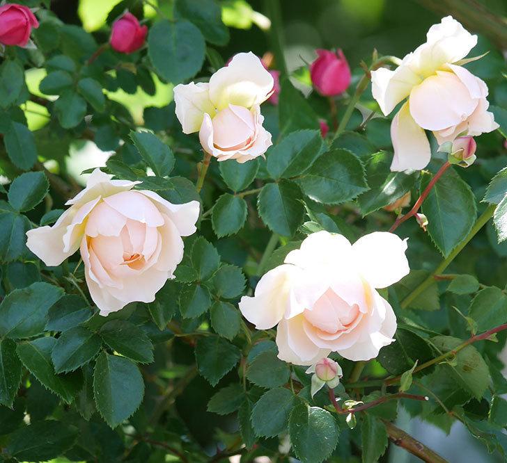 ジンジャー・シラバブ(ツルバラ)の花が増えて来た。2019年-25.jpg
