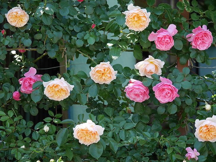 ジンジャー・シラバブ(ツルバラ)の花が増えて来た。2019年-27.jpg