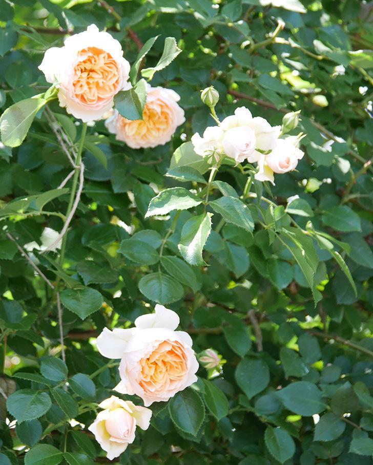ジンジャー・シラバブ(ツルバラ)の花が増えて来た。2019年-29.jpg