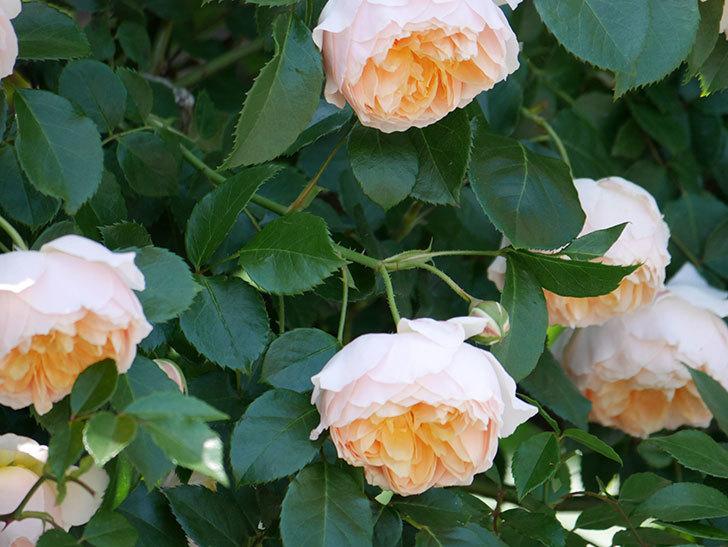ジンジャー・シラバブ(ツルバラ)の花が増えて来た。2019年-30.jpg