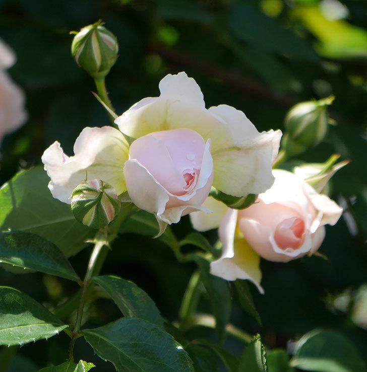 ジンジャー・シラバブ(ツルバラ)の花が増えて来た。2019年-31.jpg