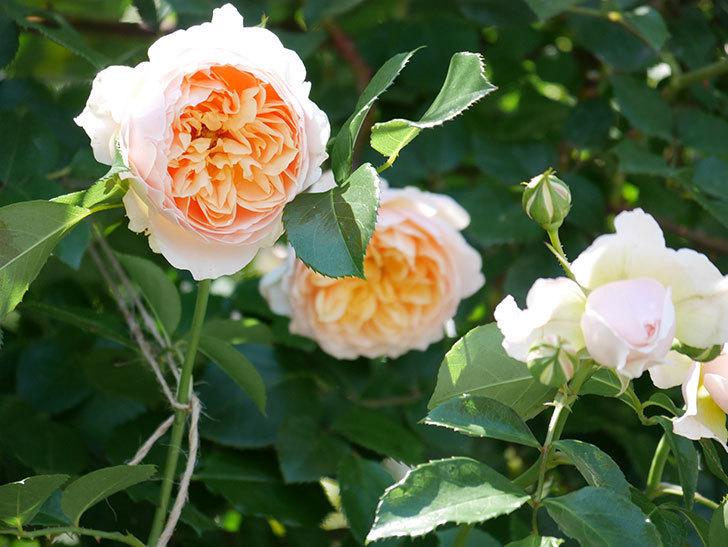 ジンジャー・シラバブ(ツルバラ)の花が増えて来た。2019年-32.jpg