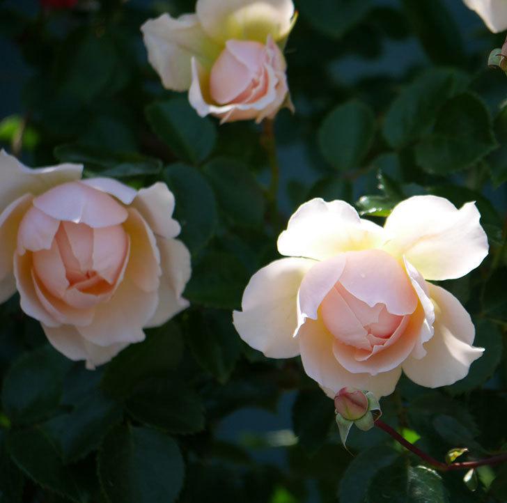 ジンジャー・シラバブ(ツルバラ)の花が増えて来た。2019年-33.jpg