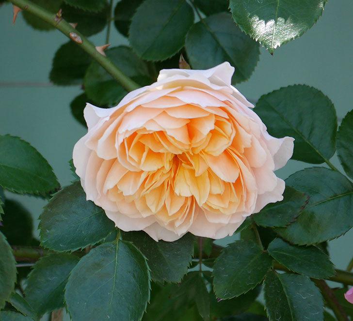 ジンジャー・シラバブ(ツルバラ)の花が増えて来た。2019年-34.jpg