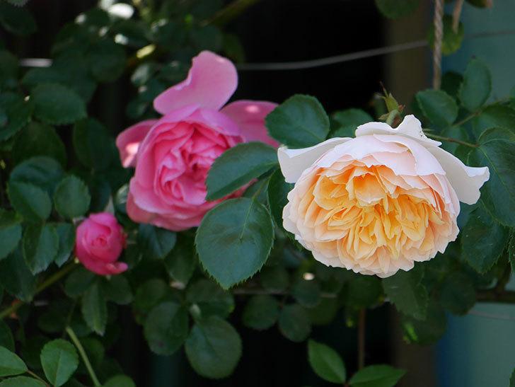 ジンジャー・シラバブ(ツルバラ)の花が増えて来た。2019年-35.jpg