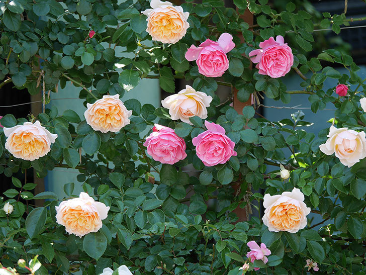 ジンジャー・シラバブ(ツルバラ)の花が増えて来た。2019年-36.jpg