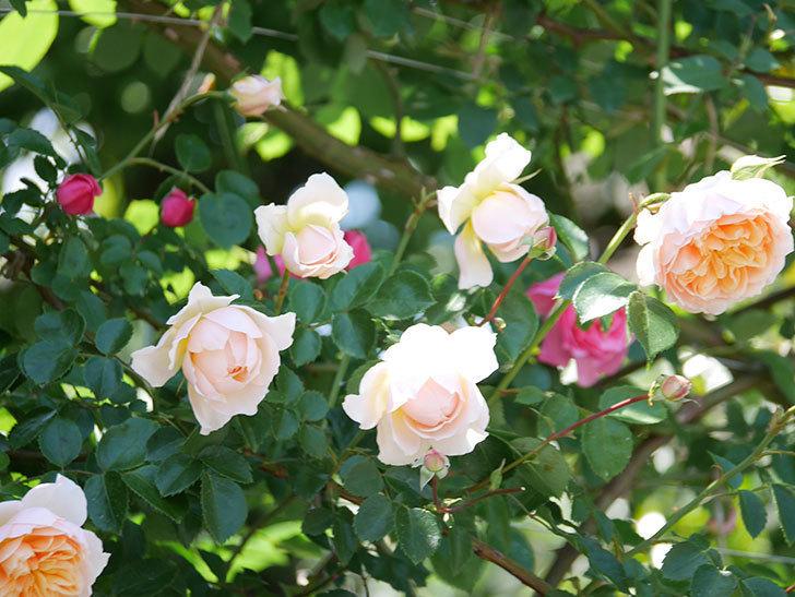 ジンジャー・シラバブ(ツルバラ)の花が増えて来た。2019年-37.jpg