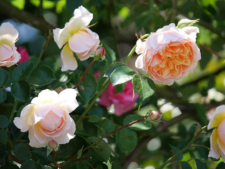 ジンジャー・シラバブ(ツルバラ)の花が増えて来た。2019年-38.jpg
