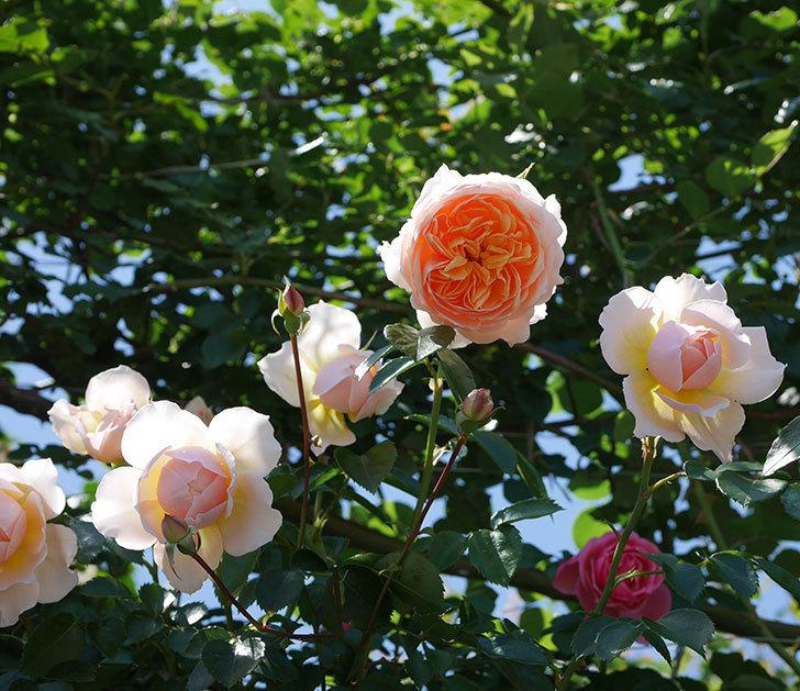 ジンジャー・シラバブ(ツルバラ)の花が増えて来た。2019年-4.jpg