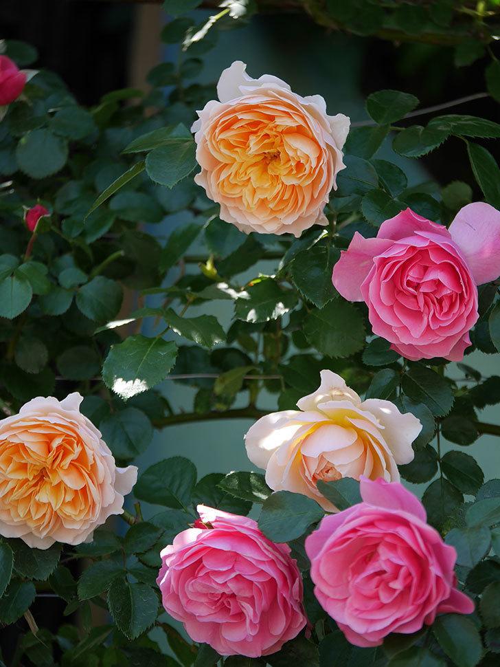 ジンジャー・シラバブ(ツルバラ)の花が増えて来た。2019年-40.jpg