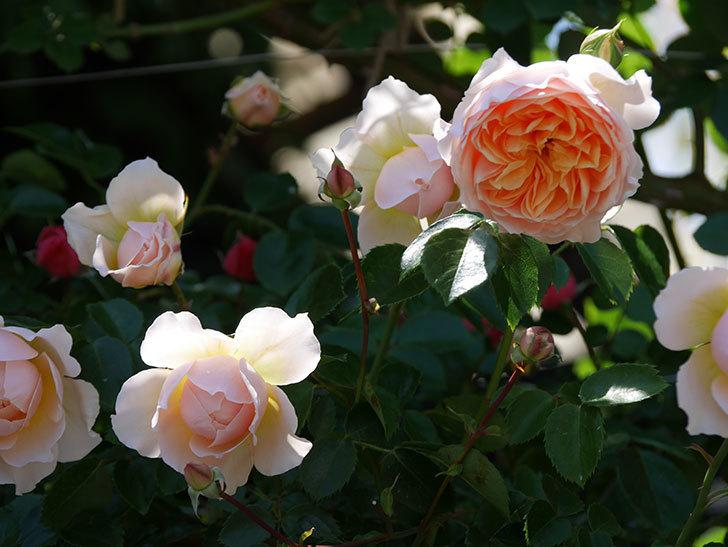 ジンジャー・シラバブ(ツルバラ)の花が増えて来た。2019年-41.jpg
