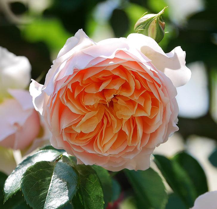 ジンジャー・シラバブ(ツルバラ)の花が増えて来た。2019年-42.jpg