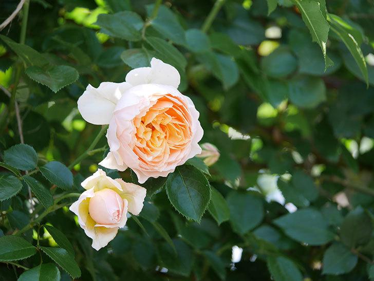 ジンジャー・シラバブ(ツルバラ)の花が増えて来た。2019年-43.jpg