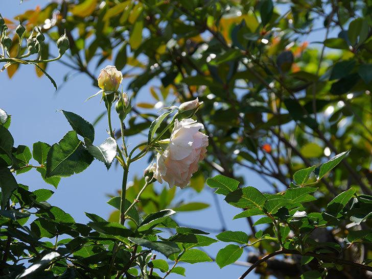 ジンジャー・シラバブ(ツルバラ)の花が増えて来た。2019年-44.jpg